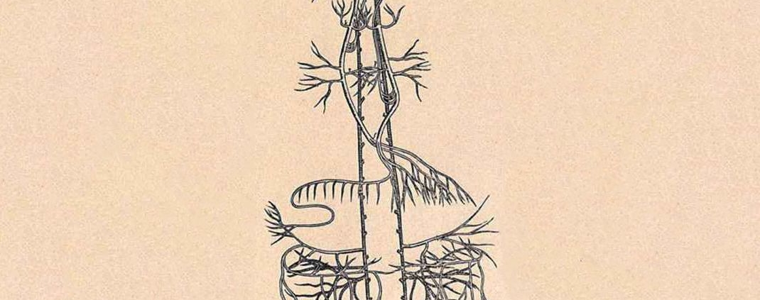 A diagram of the vagus nerve.